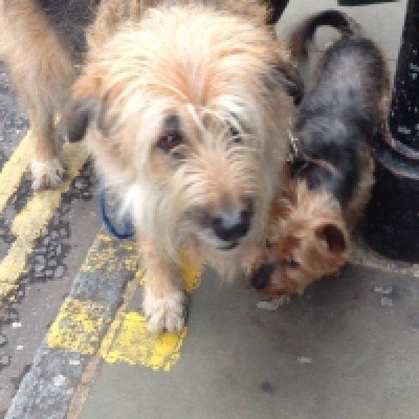 Paddington (Yorkshire Terrier)