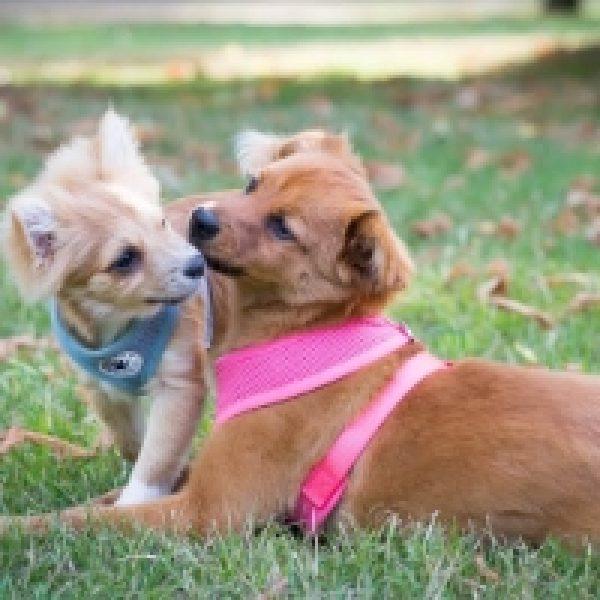 Cassie and Hugo (Pomeranian Cross and Pomeranian)
