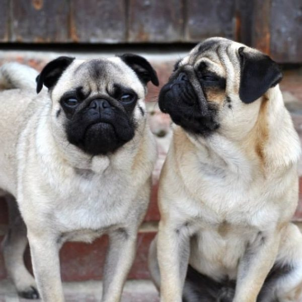 Mort and Maurice (Two Lovely Pugs)